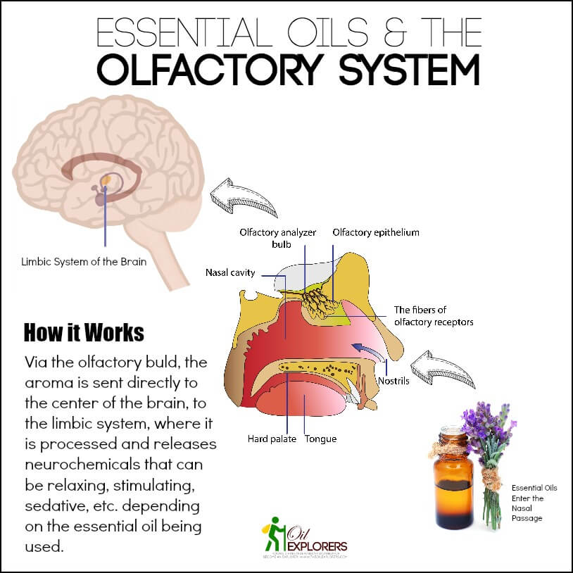 beginner s guide to essential oils for sensory needs Brain Limbic System Olfactory Association Area