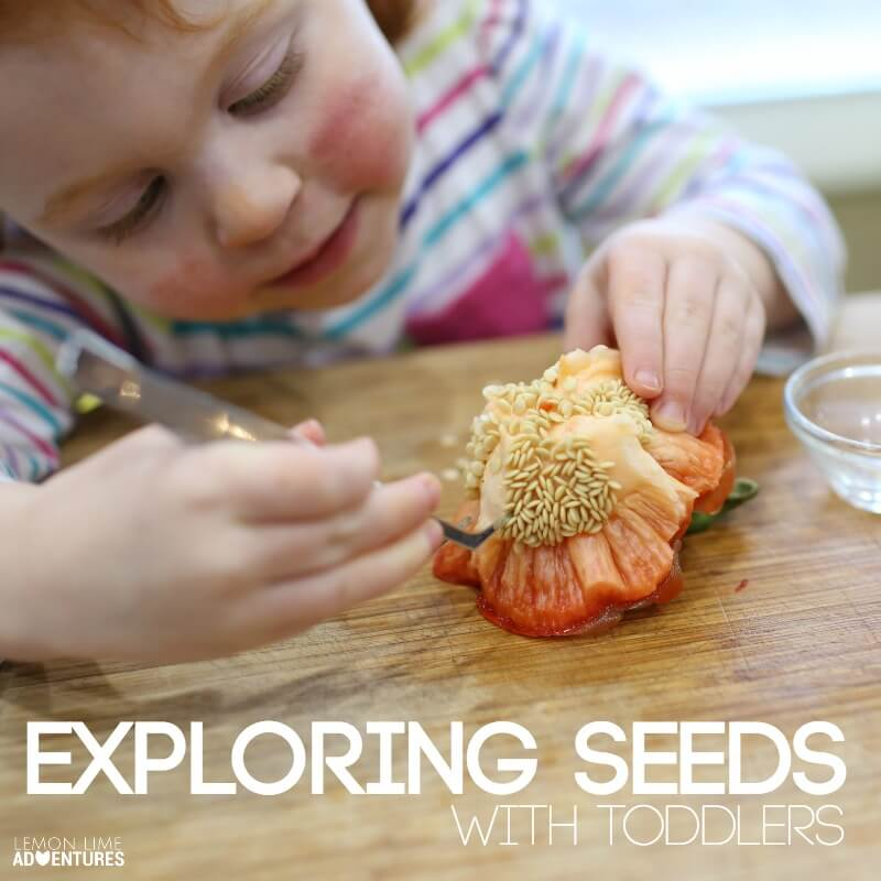 Exploring Seeds with Toddlers Science Experiment